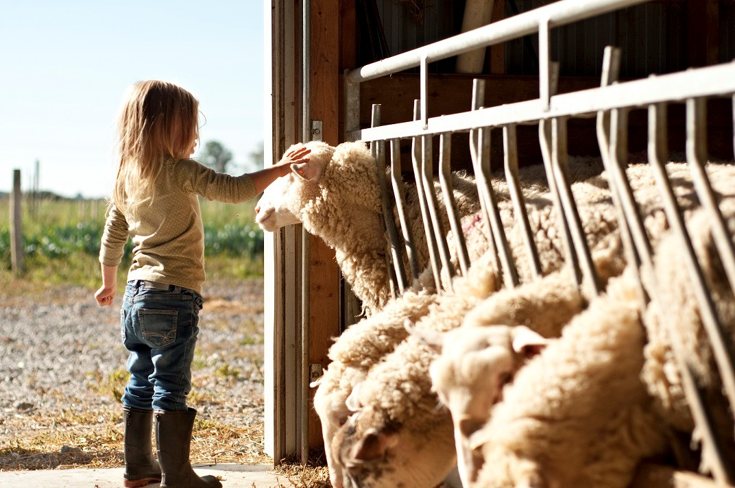 A little girl petting a sheep in a barn.