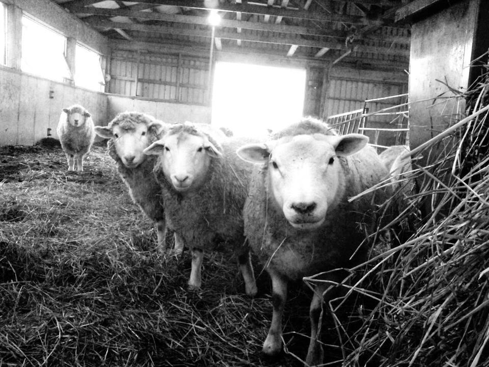 Three lambs standing beside a hay feeder in a barn.
